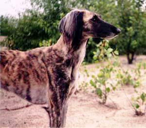 Мисливська порода собак